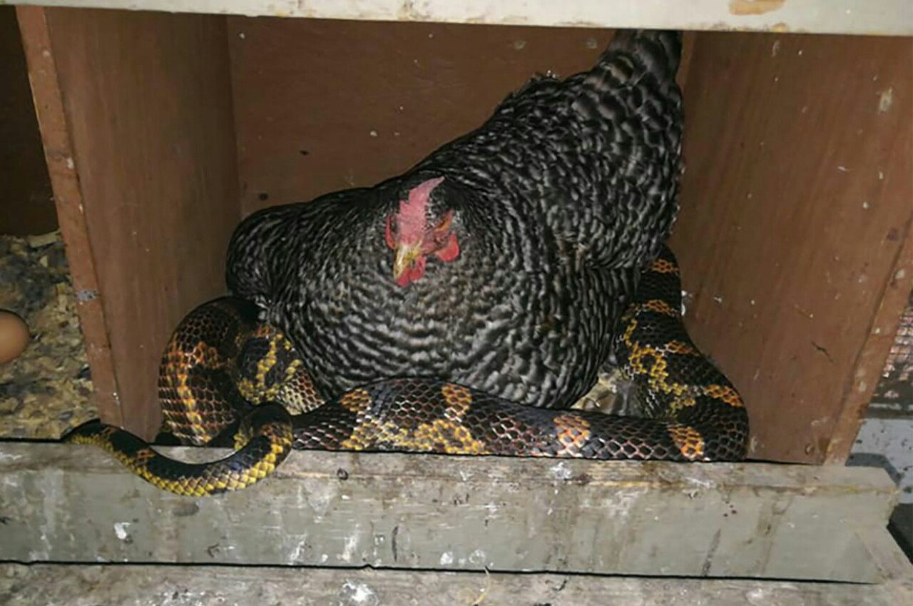083118-chicken-and-snake-no-big-deal-1280x849.jpg