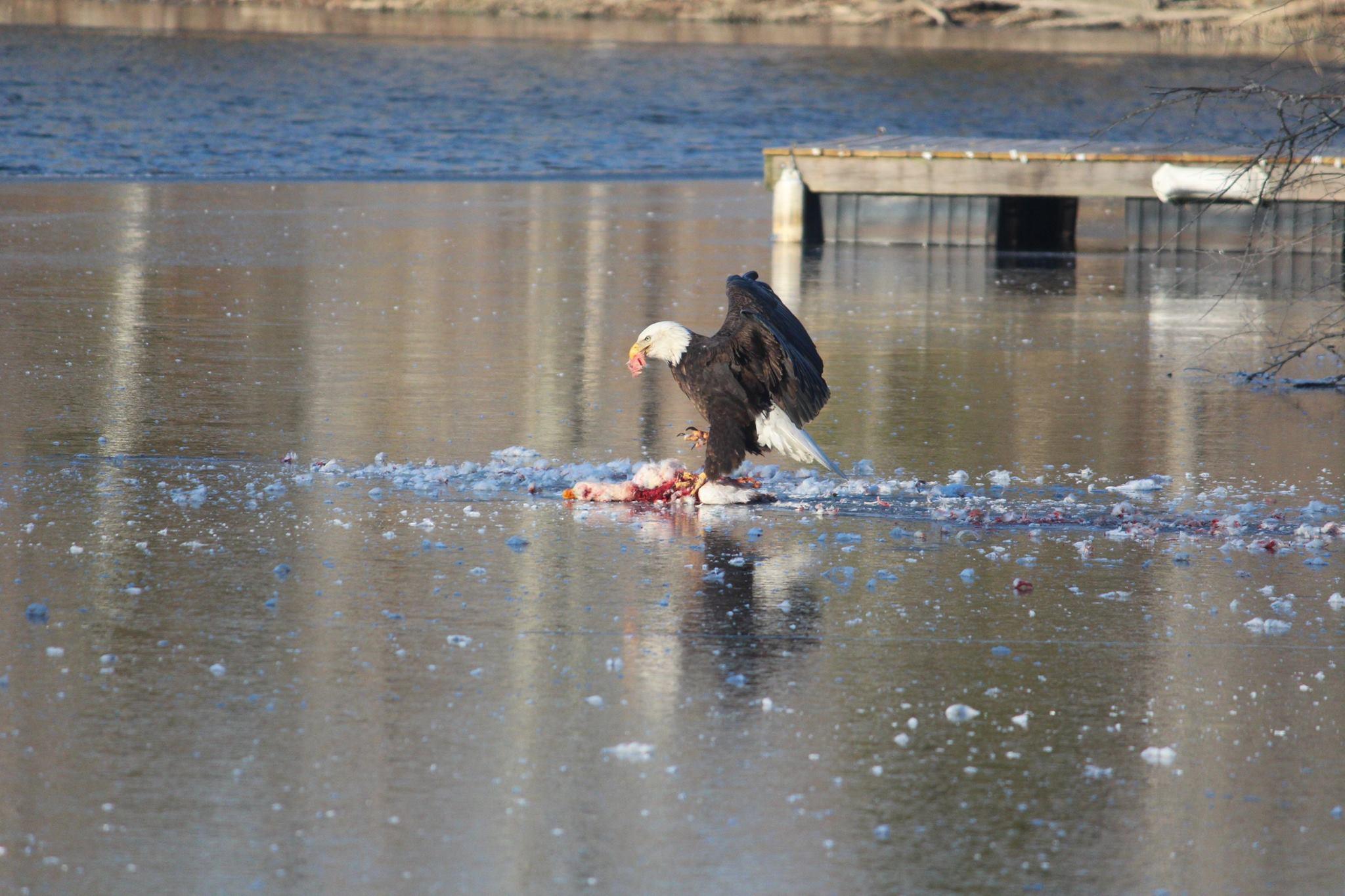 Bald eagle & Goose.jpg