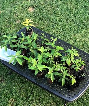 chestnut seedlings.jpg