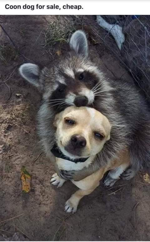 coon dog for sale.jpg