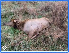 first elk.png