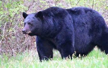 large bear.png