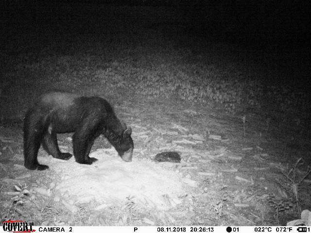 logan county bear.jpg