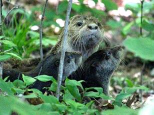 otters lake Malone.jpg
