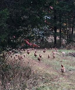 rogue chickens.jpg