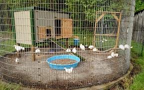 roundchickens.jpg