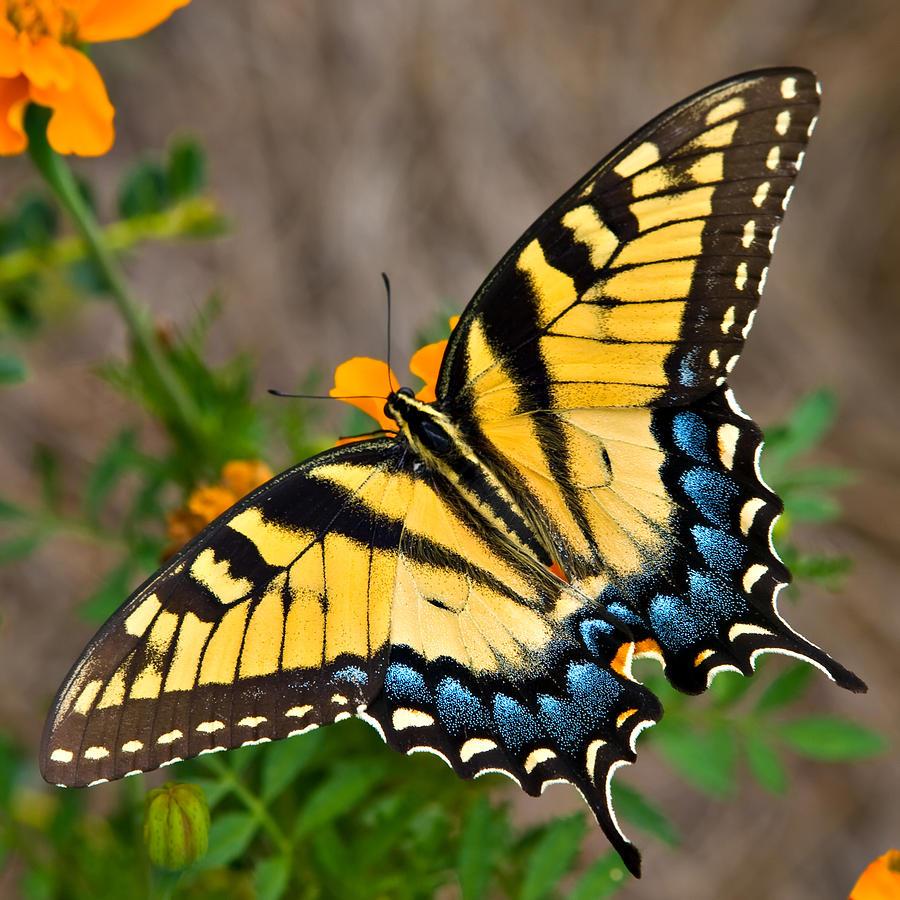 swallowtail.jpeg